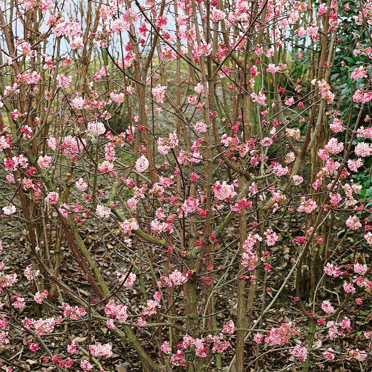 Duft Winterschneeball rosa blühend 1 Strauch Amazon Garten