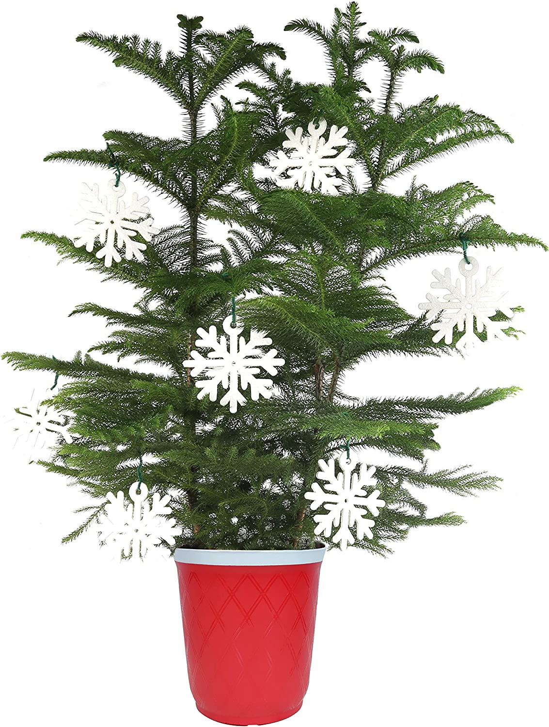 Costa Farms Live Indoor Christmas Tree, 4-Feet Tall, Ships with Red Planter and White Snowflakes, Fresh From Our Farm, Great as Gift or Christmas Decoration