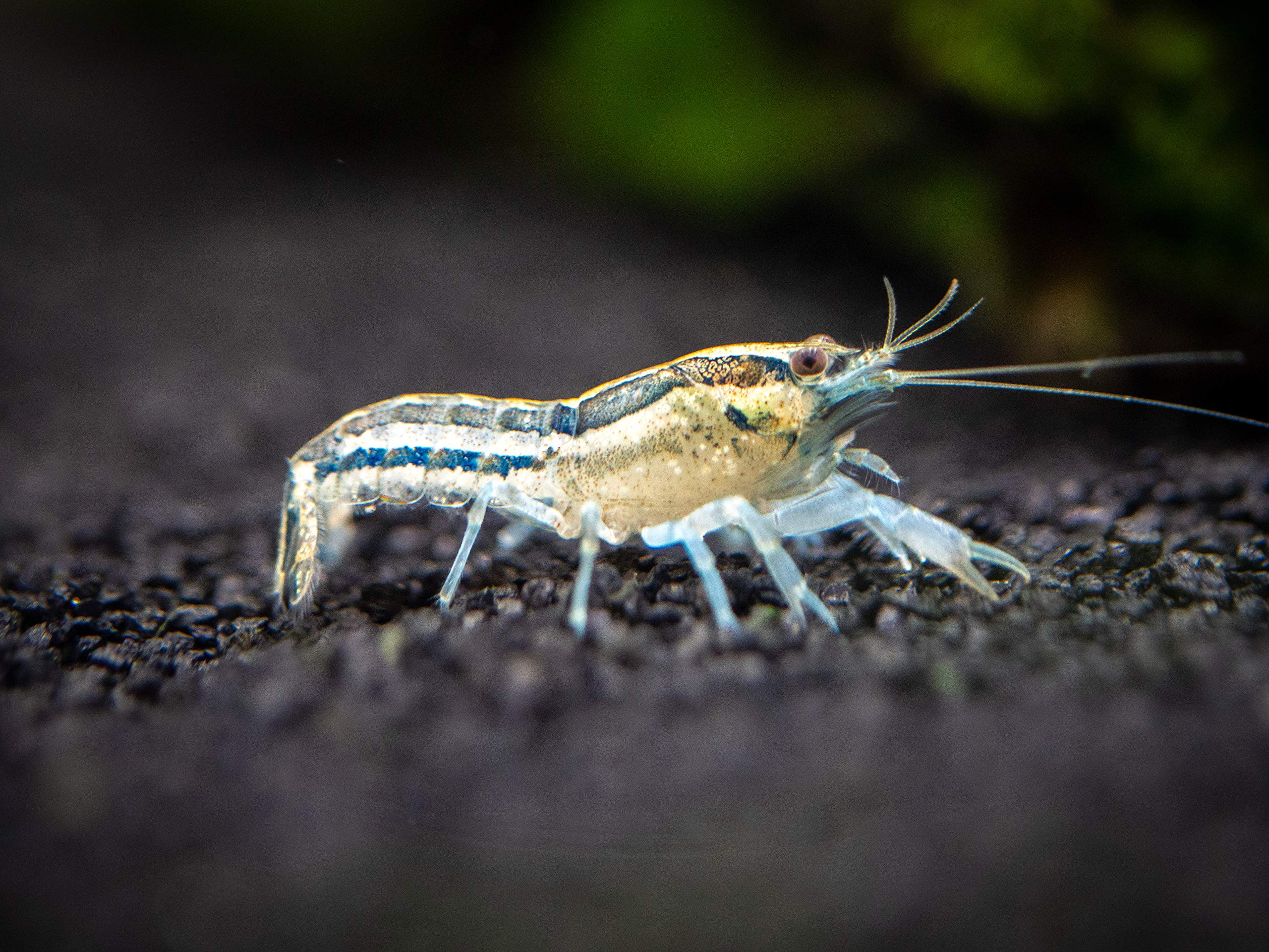 Aquatic Arts 1 Live Blue Cajun Dwarf Crayfish (Male/Female Pair) Live Freshwater Aquarium Lobster | Crawfish Crawdad | Real Living Fish Tank Breeding,, 0.7 Lb ()