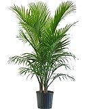 Majesty Palm in Pot