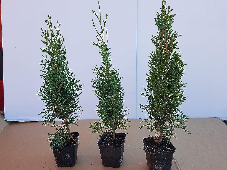 """Platz 3 – Thuja Lebensbaum""""Smaragd"""" Topfballen 25-30 cm"""