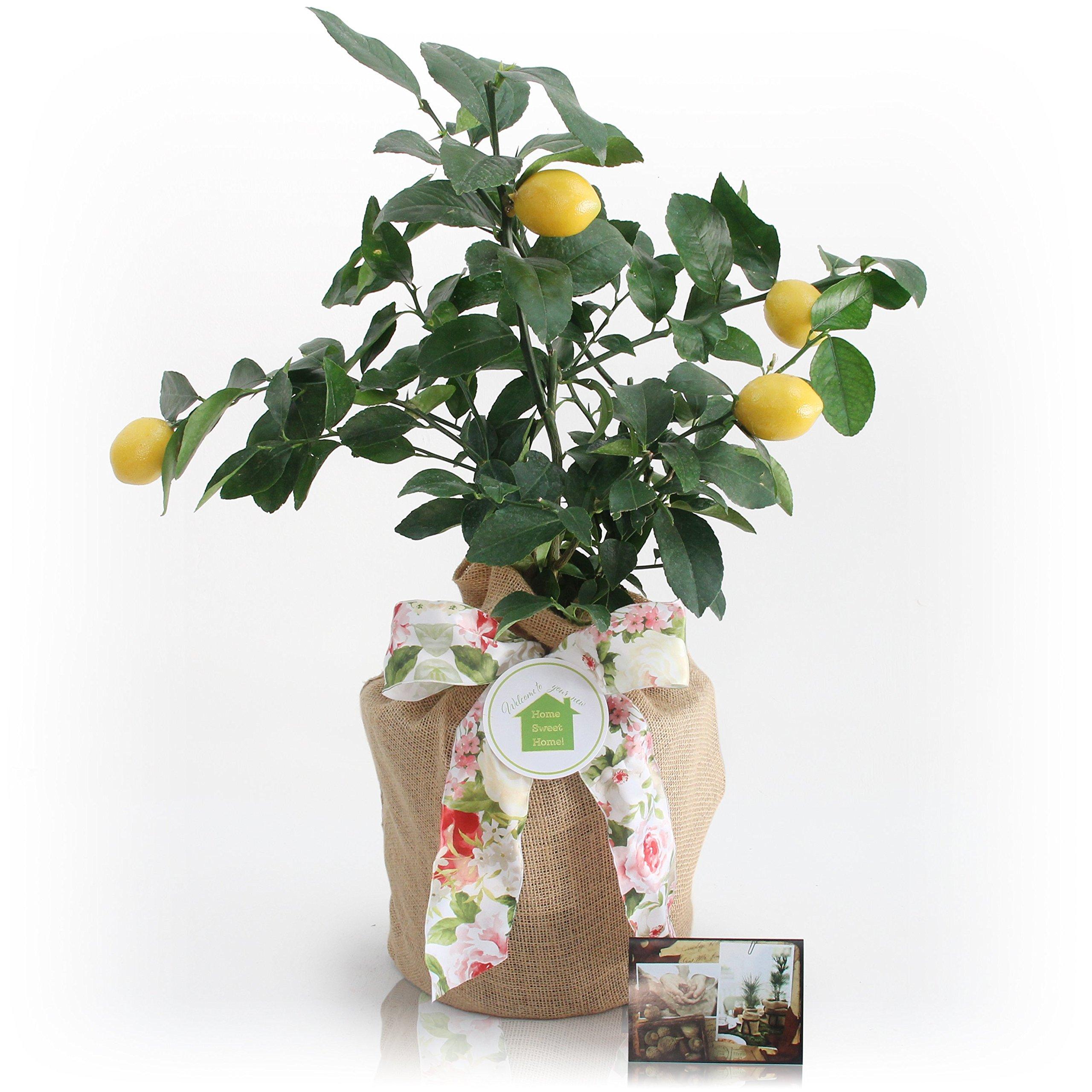 Housewarming Meyer Lemon Gift Tree by The Magnolia Company - Get Fruit 1st Year, Dwarf Fruit Tree with Juicy Sweet Lemons, NO Ship to TX, LA, AZ and CA by The Magnolia Company (Image #3)