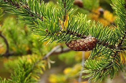 Banks-Kiefer Pinus banksiana Kiefer Pflanze 30cm Bonsai Outdoor