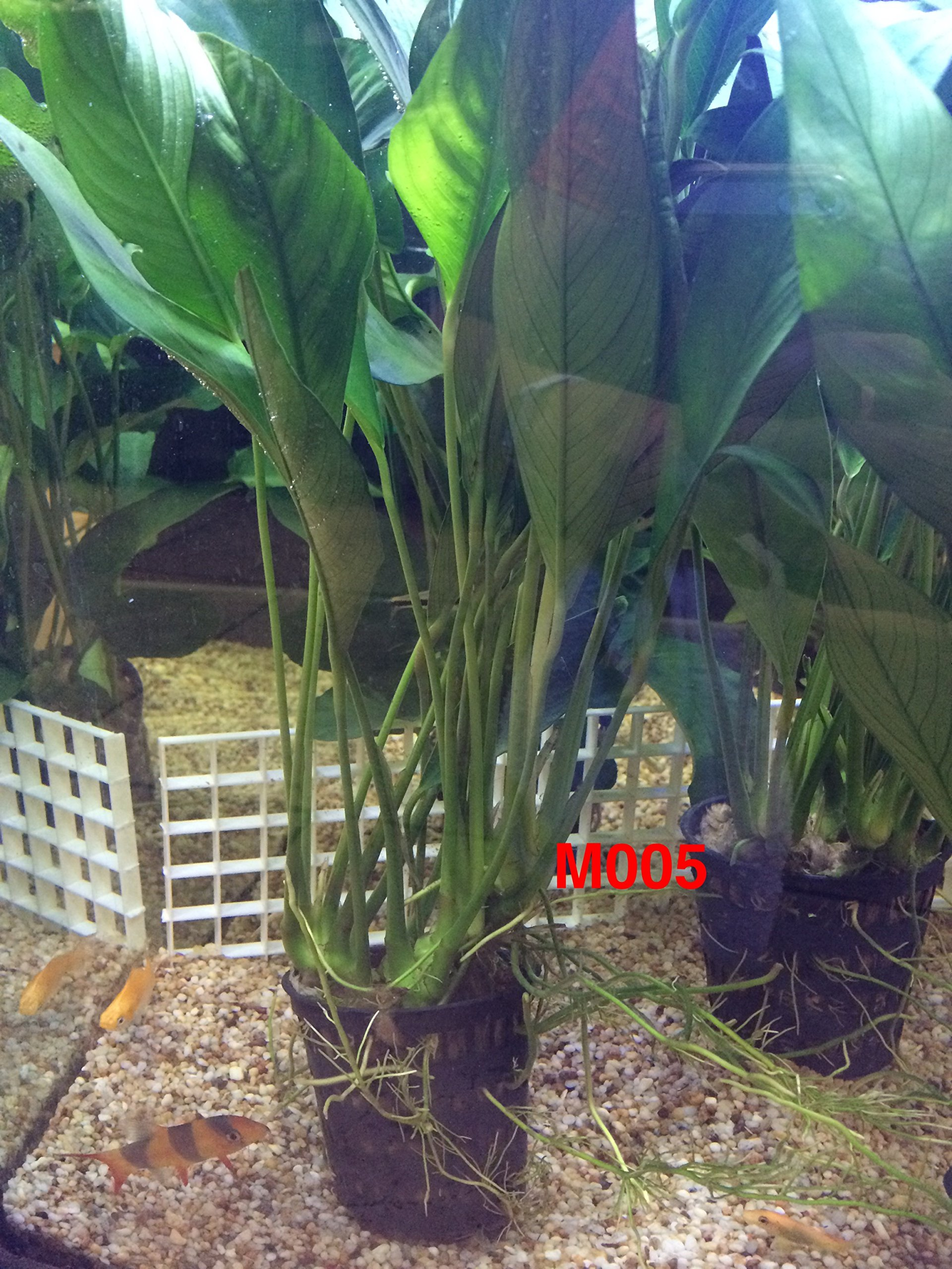 Anubias congensis Mother Pot Plant M005 Live Aquatic Plant by Jayco (Image #5)