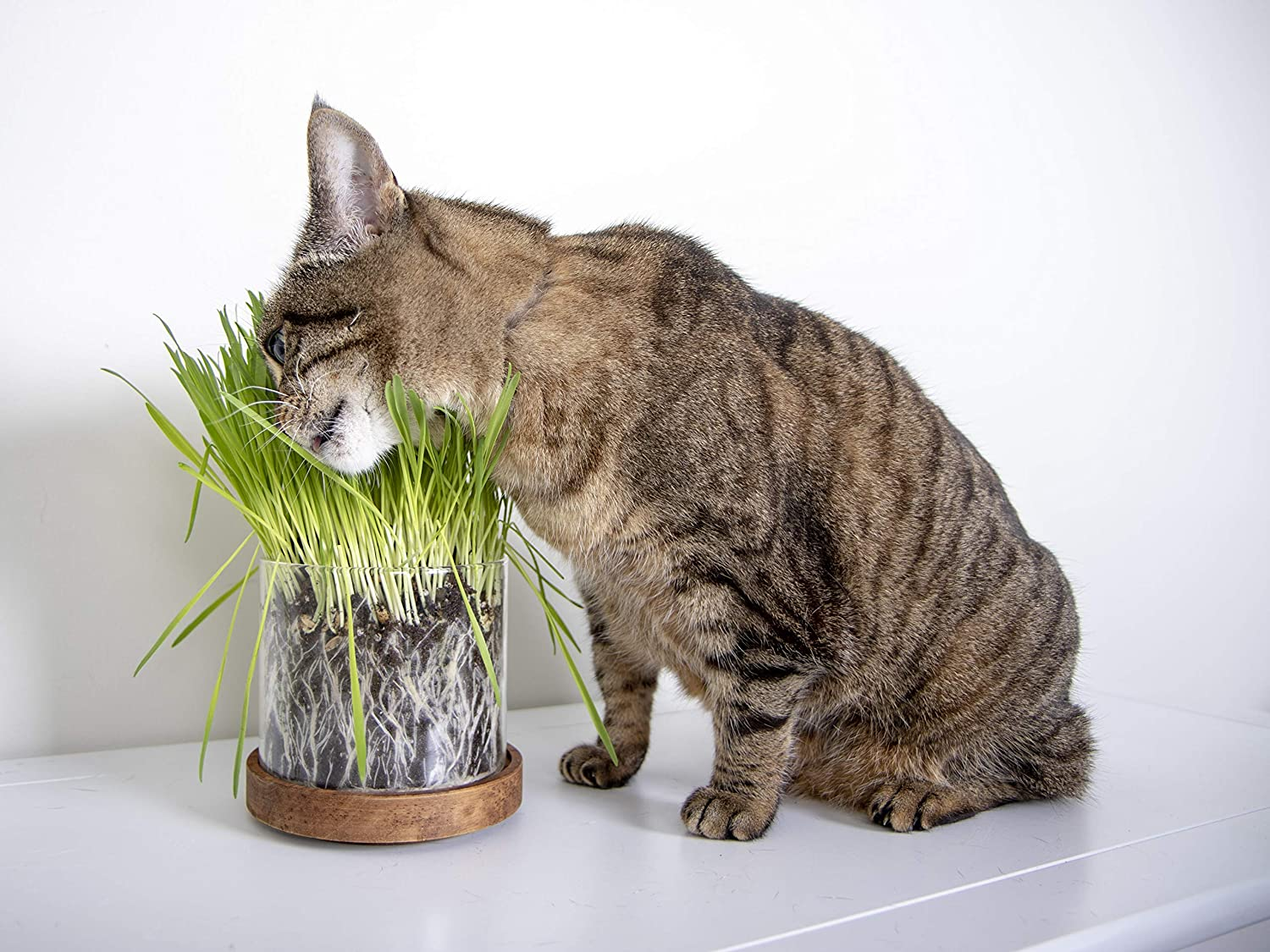 Amazon.com: Petlinks Pure Bliss Organic Catnip: Mascotas