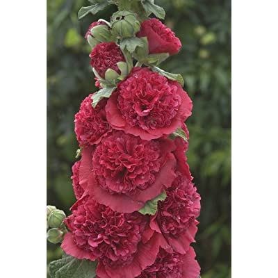 ALCEA rosea 'Chater's Red.(2 Hollyhock Plant - (Red - Double) Great cut flower, Attracts butterflies, hummingbirds PLANT/ROOT : Garden & Outdoor