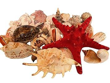 Wattkiste Muschelmix Schöne Dekomuscheln Zum Dekorieren Basteln Große Muscheln 20cm Muschelkorb