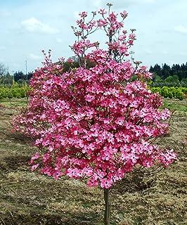 Amazon exotic10 pink dogwood tree seeds showyrare 1193a exotic10 red dogwood tree seeds 1193b mightylinksfo