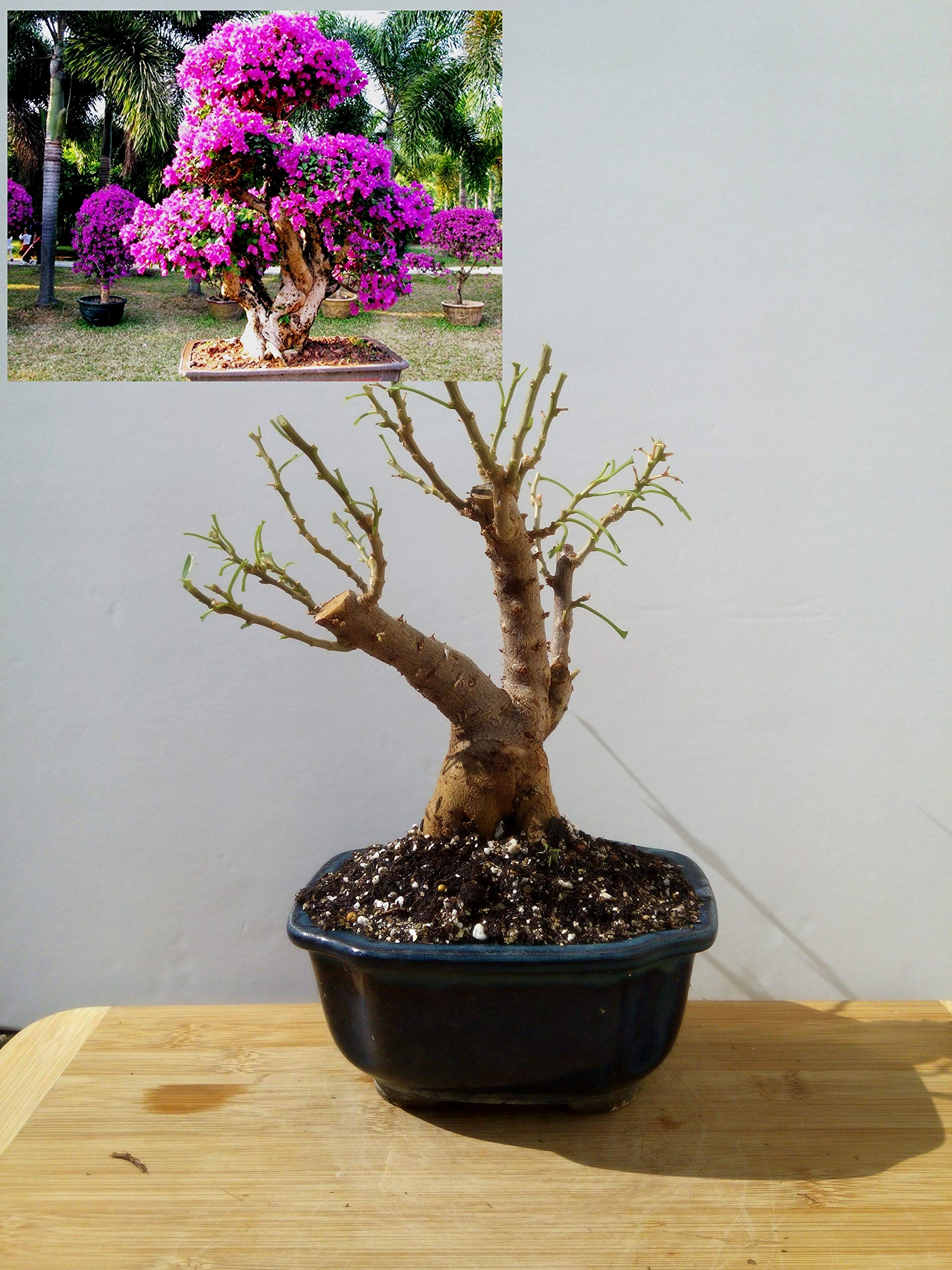 Bougainvillea Bonsai - from The Private Collection Very Old Plant