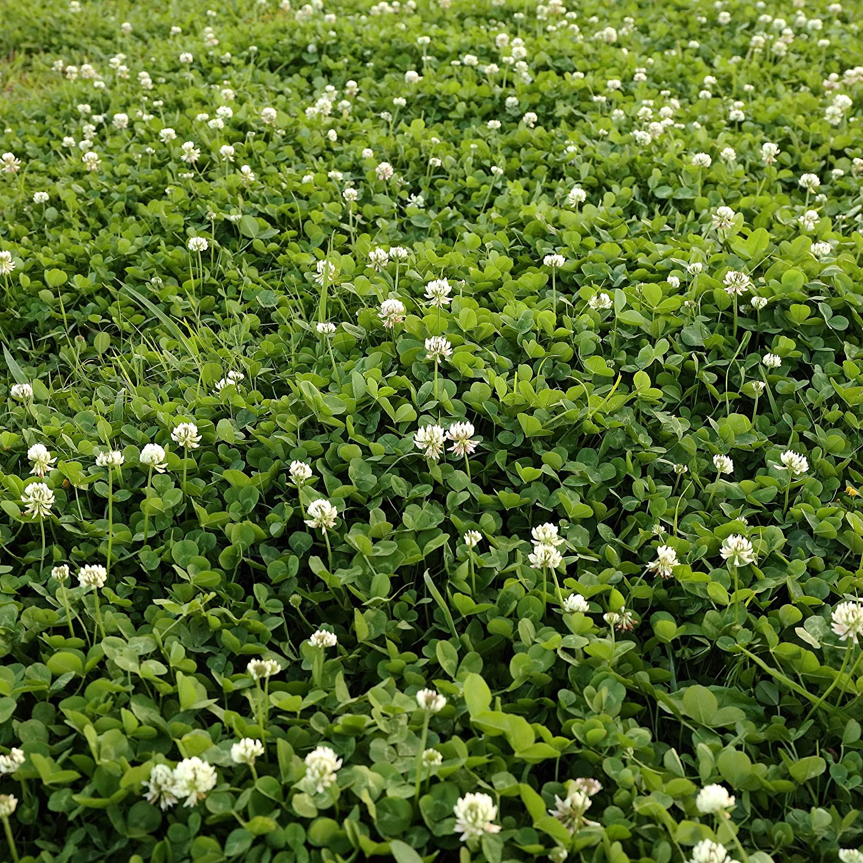 1000 pcs Trifolium Repens White Dutch Clover Seeds Three Leaf Clover Seeds