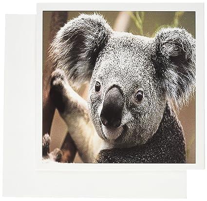 Amazon 3drose koala bear closeup greeting cards 6 x 6 3drose koala bear closeup greeting cards 6 x 6 inches set of 12 m4hsunfo