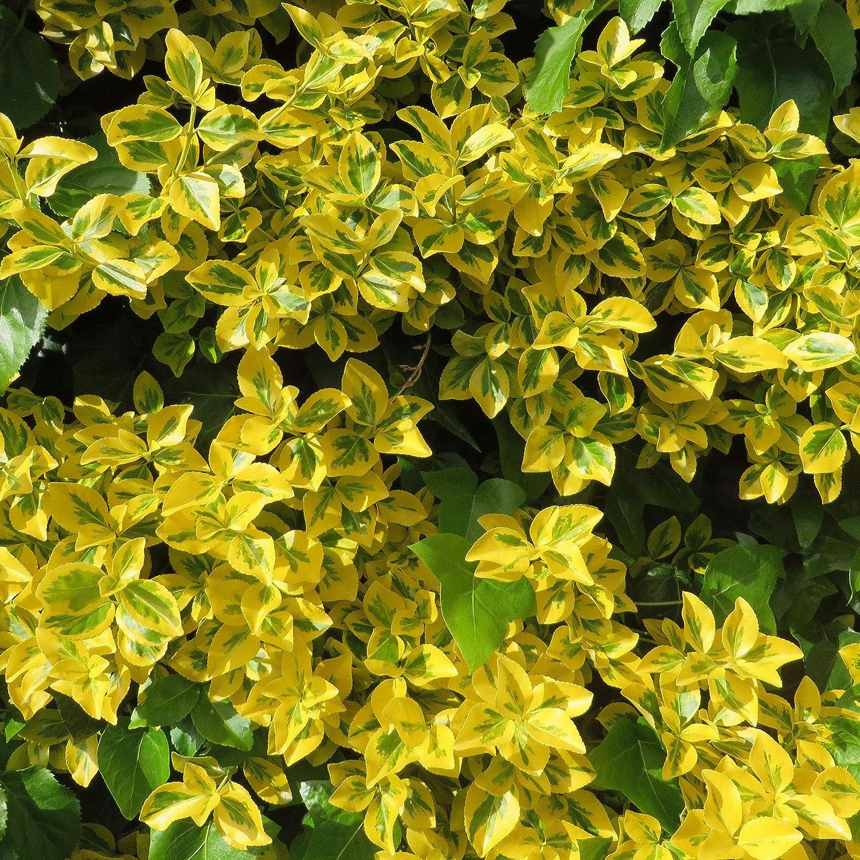 3x Euonymus fortuneiEmerald Gold Hauteur 20-25cm Pot /Ø 9cm Arbuste dornement Fusain de fortune