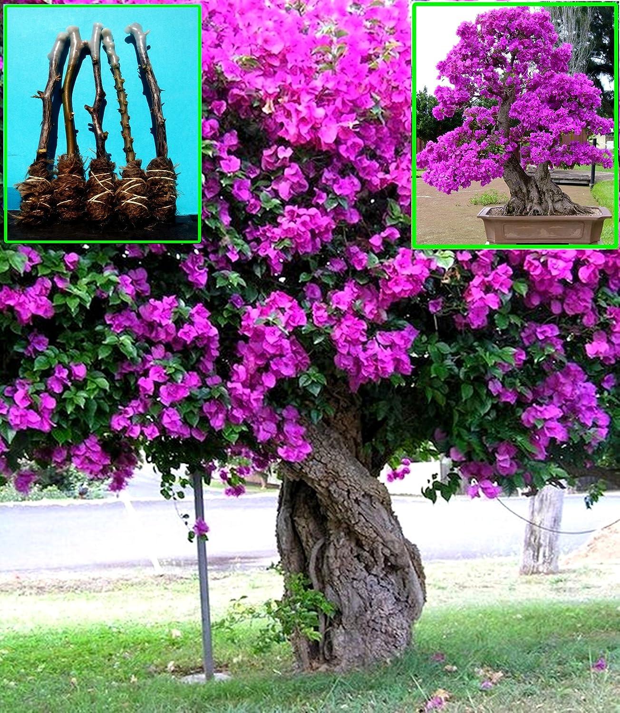 "5 Green Bougainvillea /""Elizabeth Angus/"" Tree Cutting"
