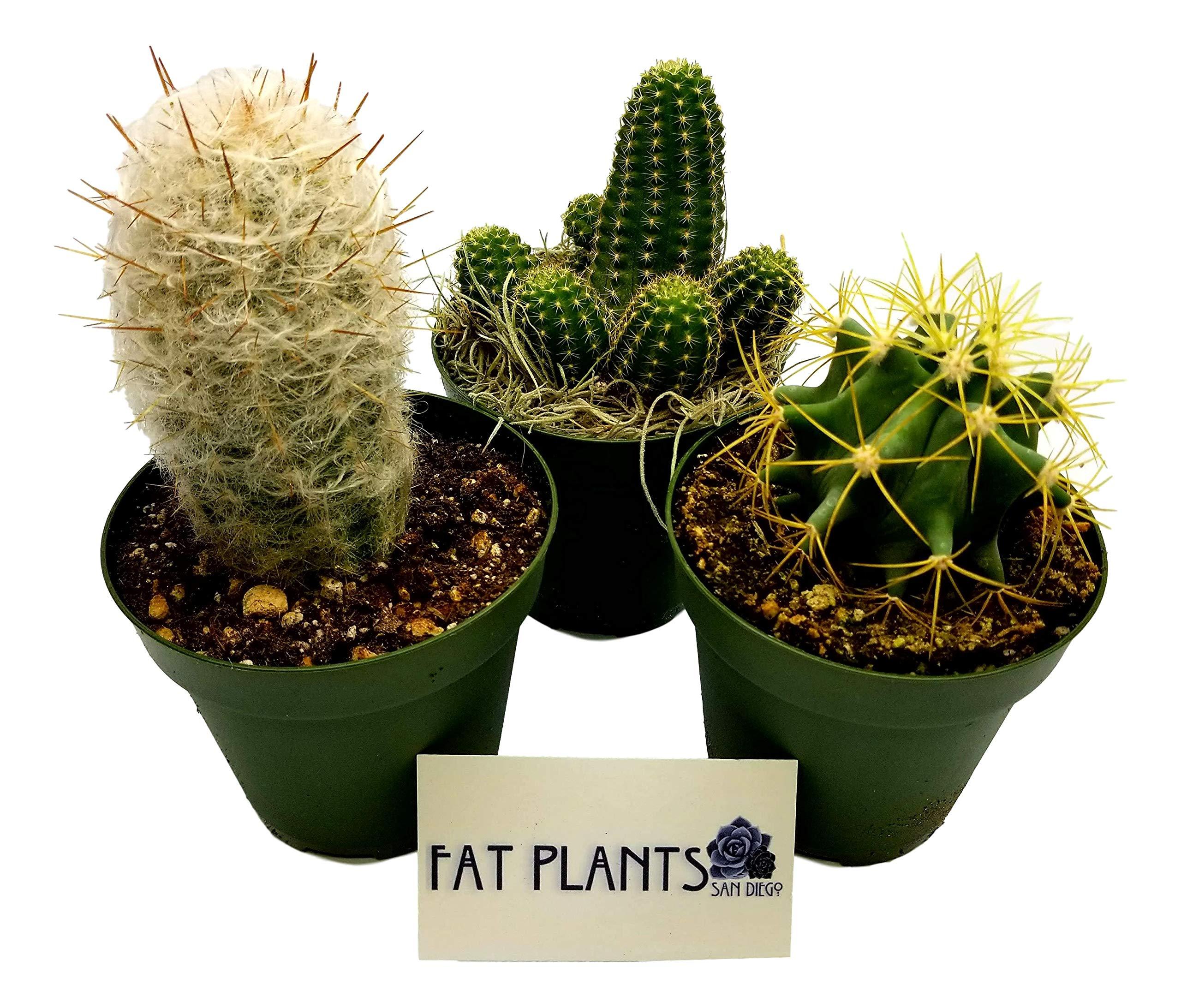 Fat Plants San Diego Large Cactus Plant(s) (3)