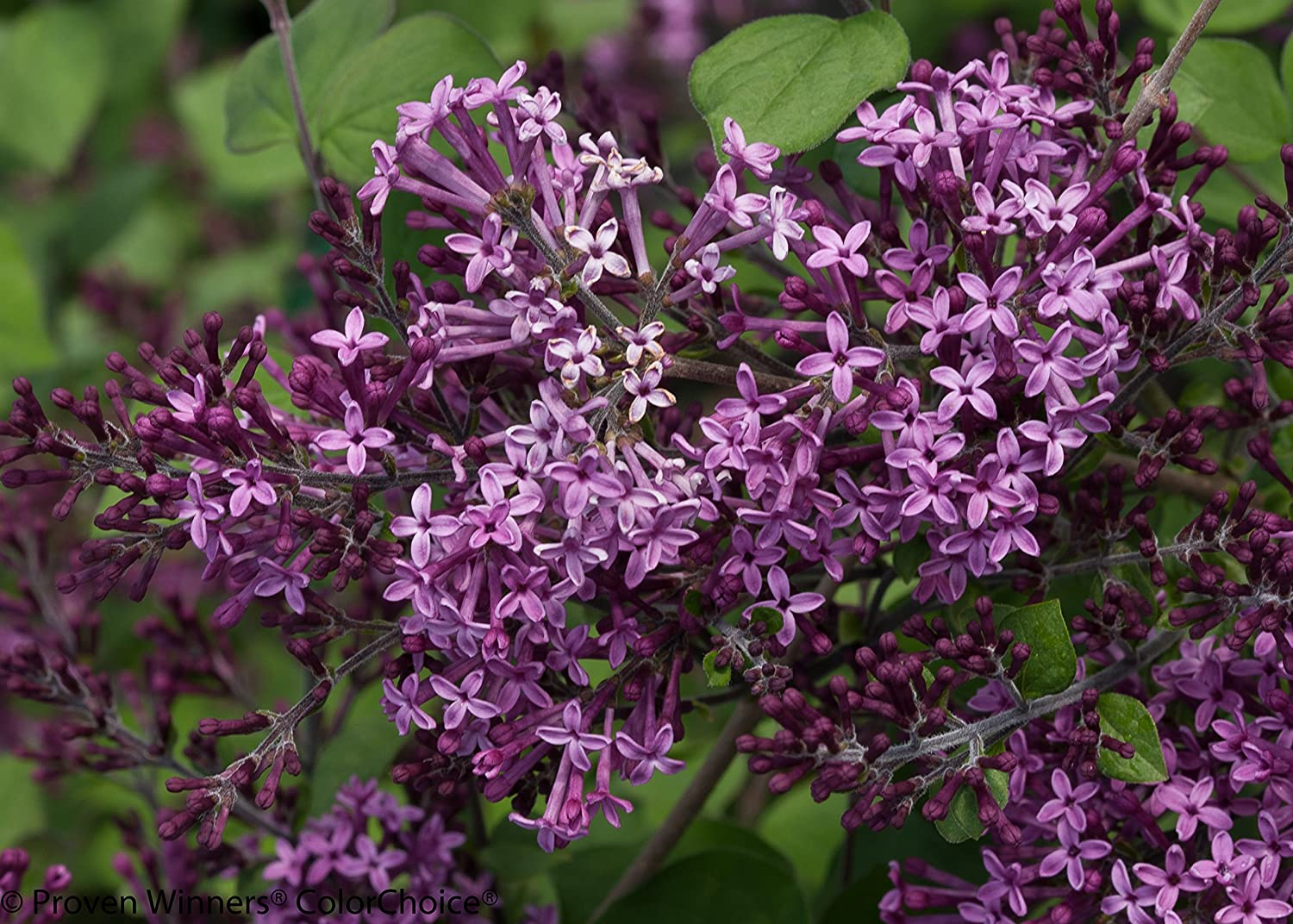 Shrubs with purple flowers pictures - Amazon Com Bloomerang Dark Purple Reblooming Lilac Syringa Live Shrub Purple Flowers 1 Gallon Garden Outdoor