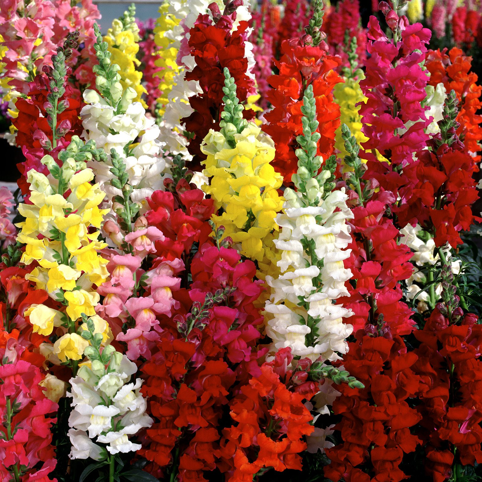 500 Seeds, Mixed Snapdragon Seeds, Northern Lights, Toadflax, Bulk Seeds, Heirloom,