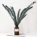 Belle Fleur Preserved Fresh Eucalyptus Branches 10Pcs, Dried Eucalyptus Stems for Flower Arrangements Wedding Home Decor…