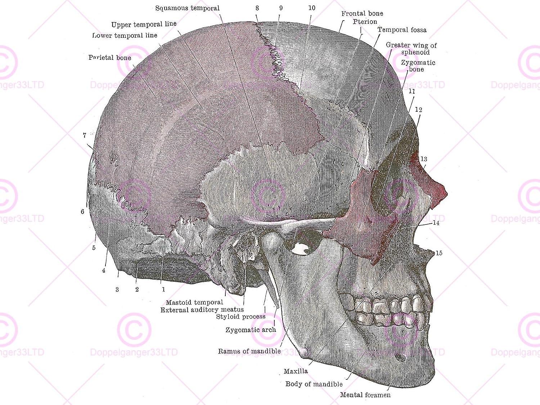 Fancy Zygomatic Photos - Anatomy and Physiology Tissue ...