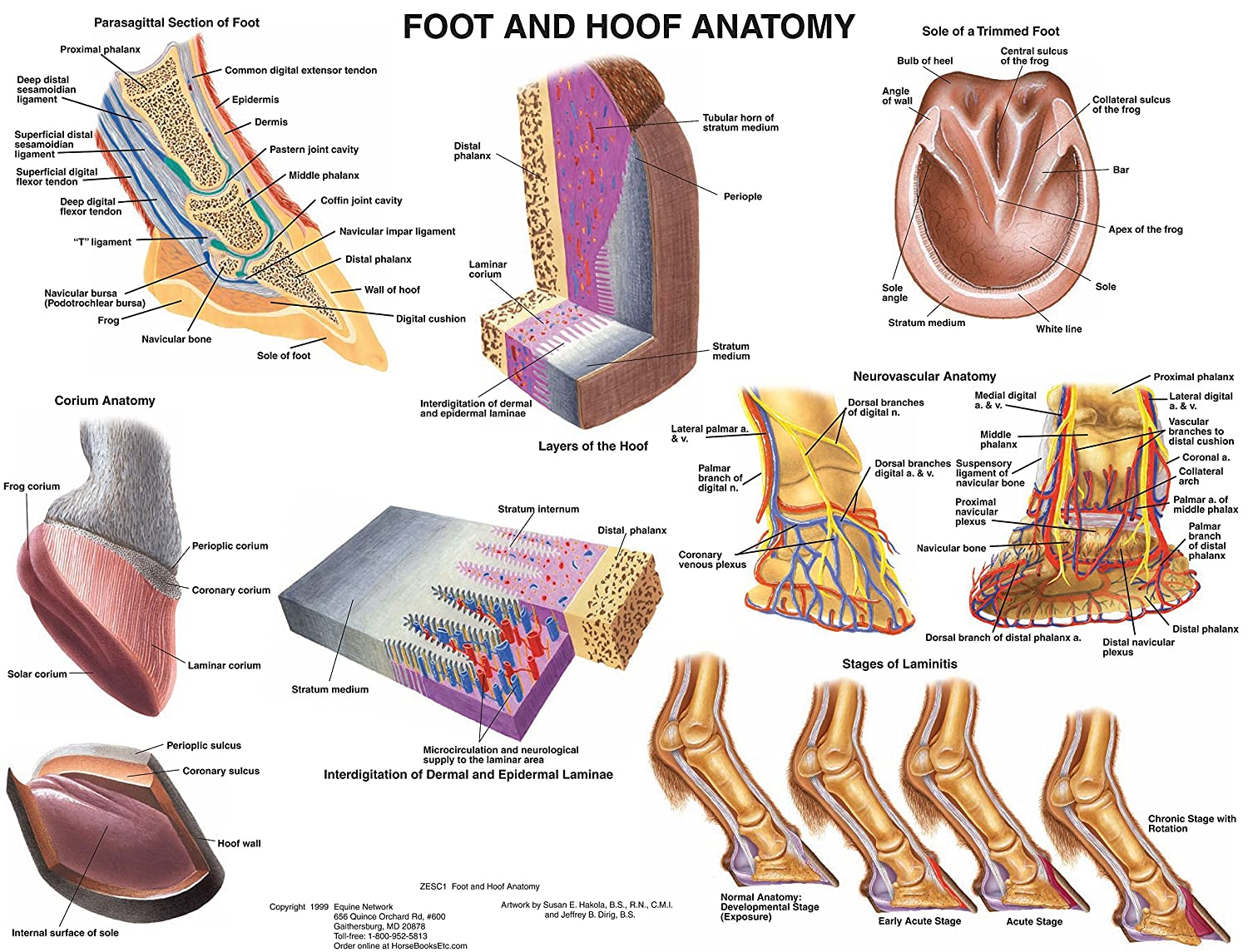 Amazon Equine Foot And Hoof Anatomy Chart Horse Tbd Sports