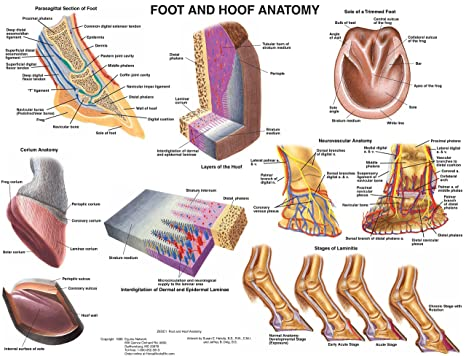 Amazon.com: Equine Foot and Hoof Anatomy Chart Horse: tbd: Sports ...