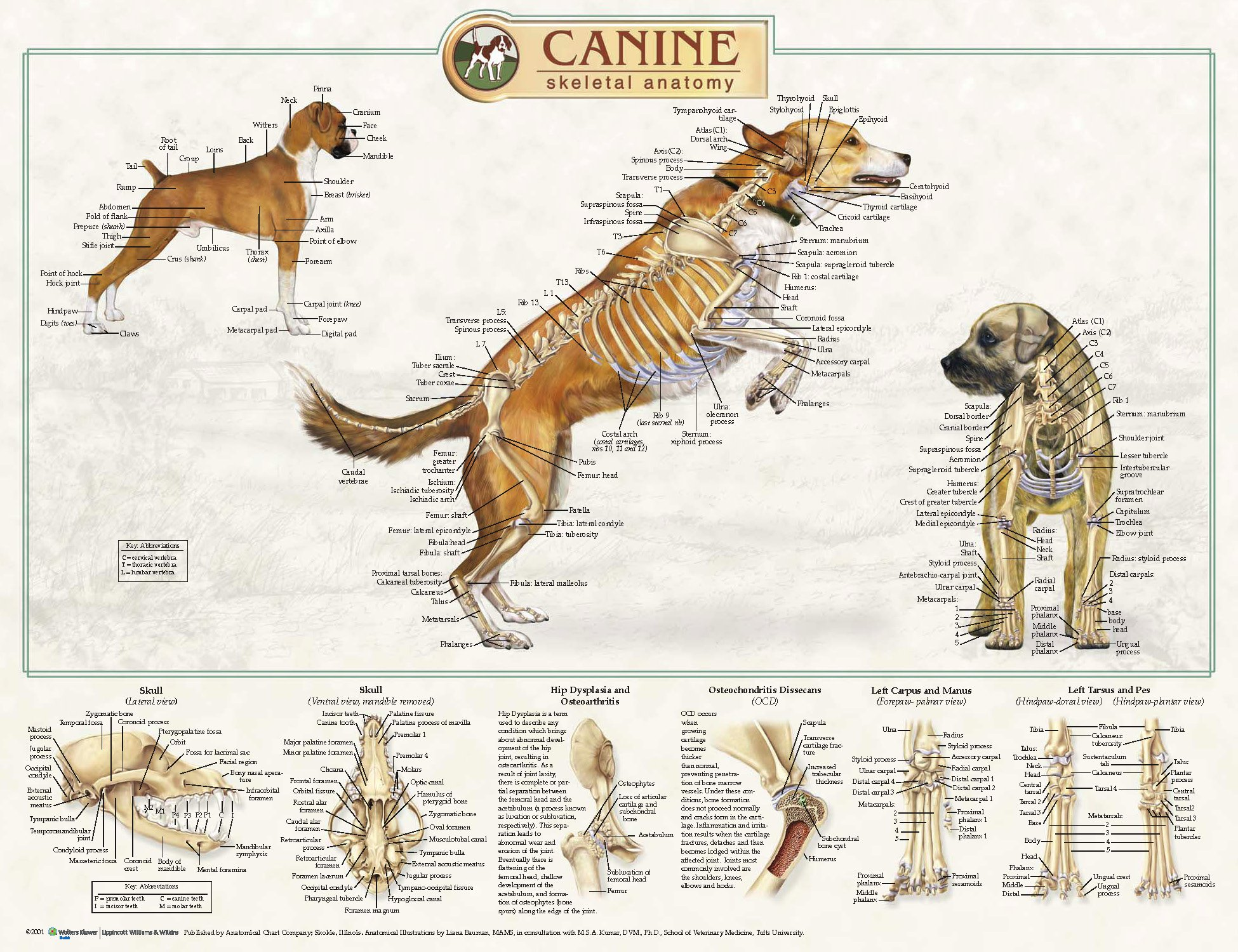 Canine Skeletal Anatomy Laminated Wallchart [Poster]: Amazon.co.uk ...
