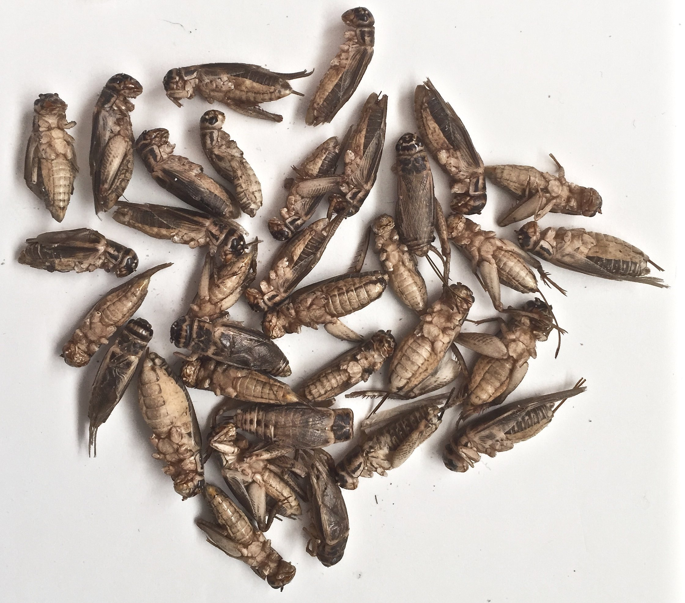 FREEZE DRIED CRICKETS (SIFTED!) 8 OZ by 8 OZ FREEZE DRIED CRICKETS (Image #2)