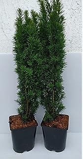 Plante 9 cm pot Taxus baccata Fastigiata Aurea-Golden Irish Yew