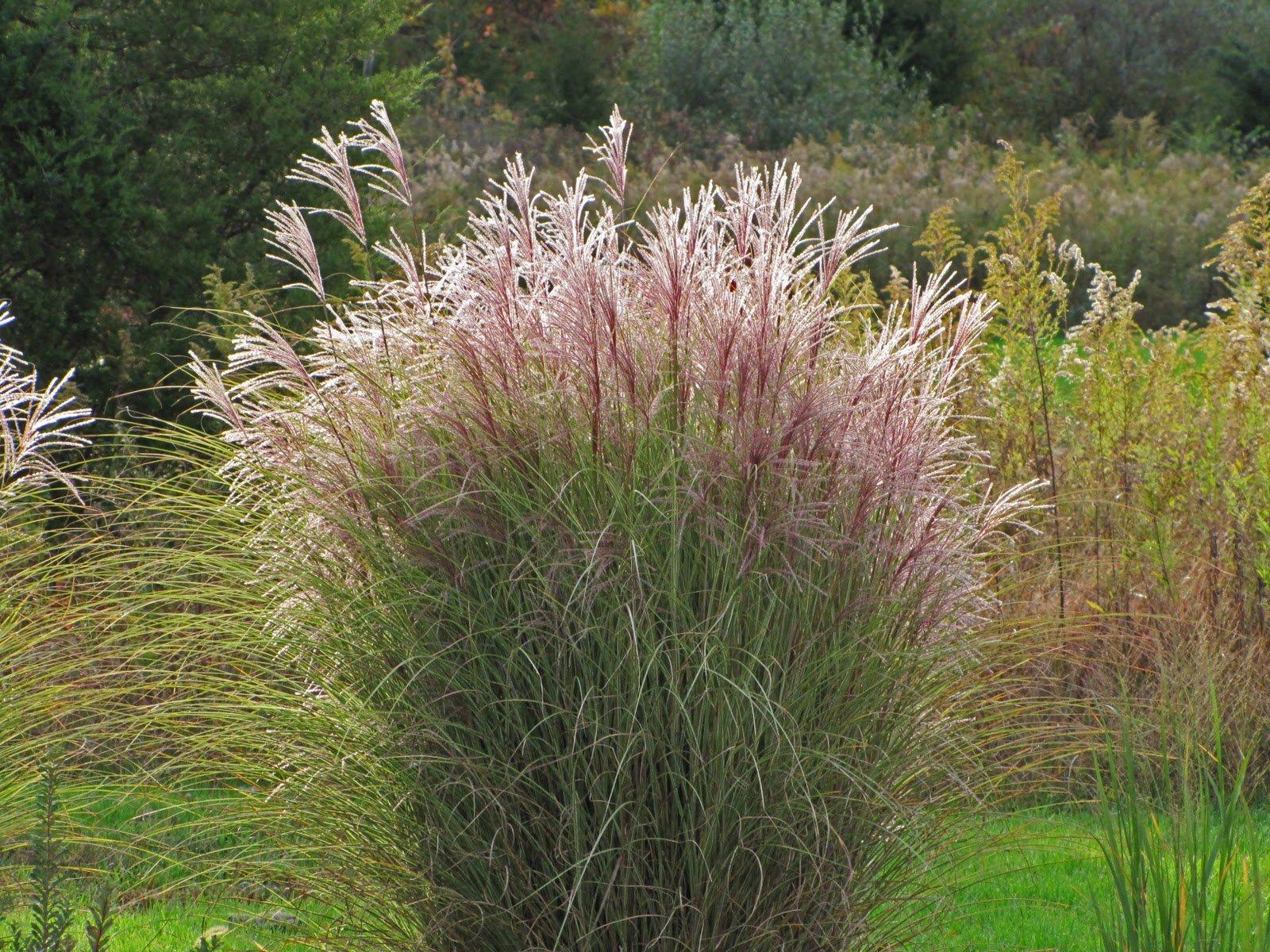 Miscanthus Morning Light Maiden Grass, 1 GAL