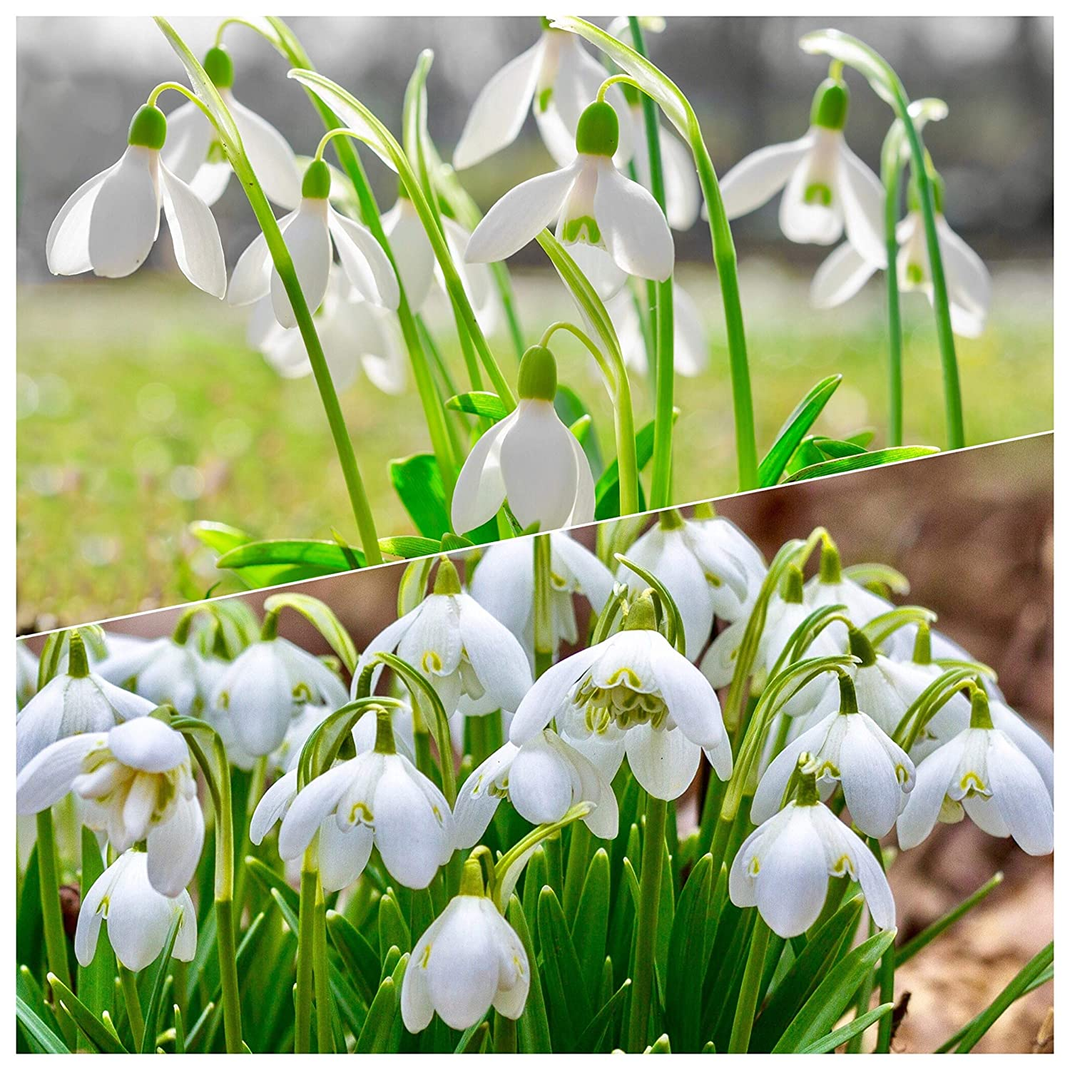 50 SINGLE & 50 DOUBLE SNOWDROP BULBS Freshly-Lifted Bulbs, (SPECIAL OFFER) For A Limited Time Only Don't Miss Out!! (100 Bulbs Ready To Plant) Woodland bulbs