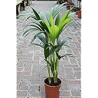 Planta de interior - Planta para la casa o la oficina - Howea forsteriana Palmera Kentia - Palma del paraíso - 95 cm de…