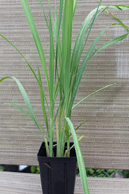Amazon Com Lemongrass Plants Non Gmo Two 2 Live Plants