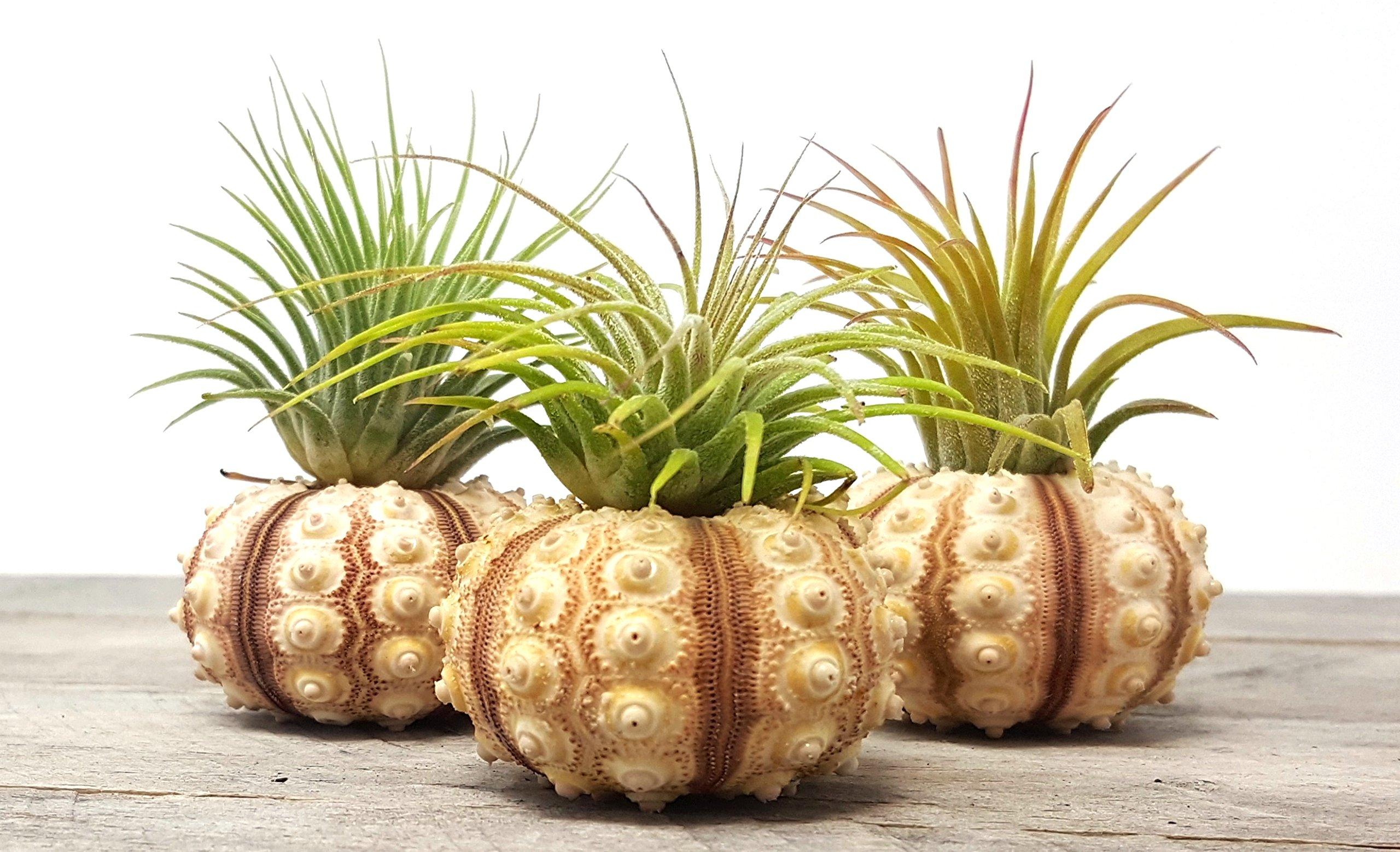 Aura Creations 3 pcs Sputnick Sea Urchin Air Plant Lot/Kit Includes 3 Tillandsia Plants and 3 Urchin Shell