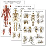 3 Pack - Muscle + Skeleton + Ligaments of The Joints Anatomy Poster Set - Muscular and Skeletal System Anatomical Charts…