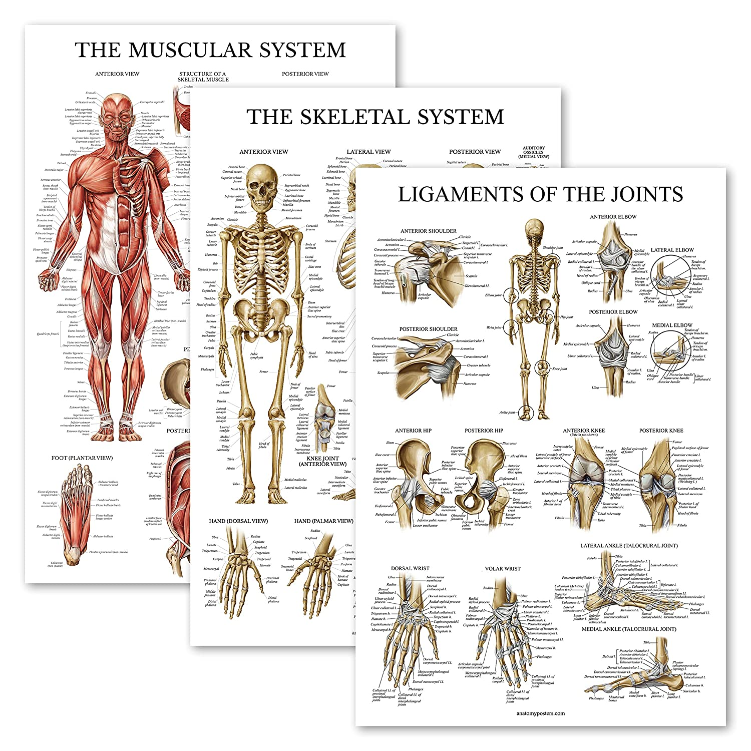 "3 Pack - Muscle + Skeleton + Ligaments of The Joints Anatomy Poster Set - Muscular and Skeletal System Anatomical Charts - Laminated 18"" x 27"""