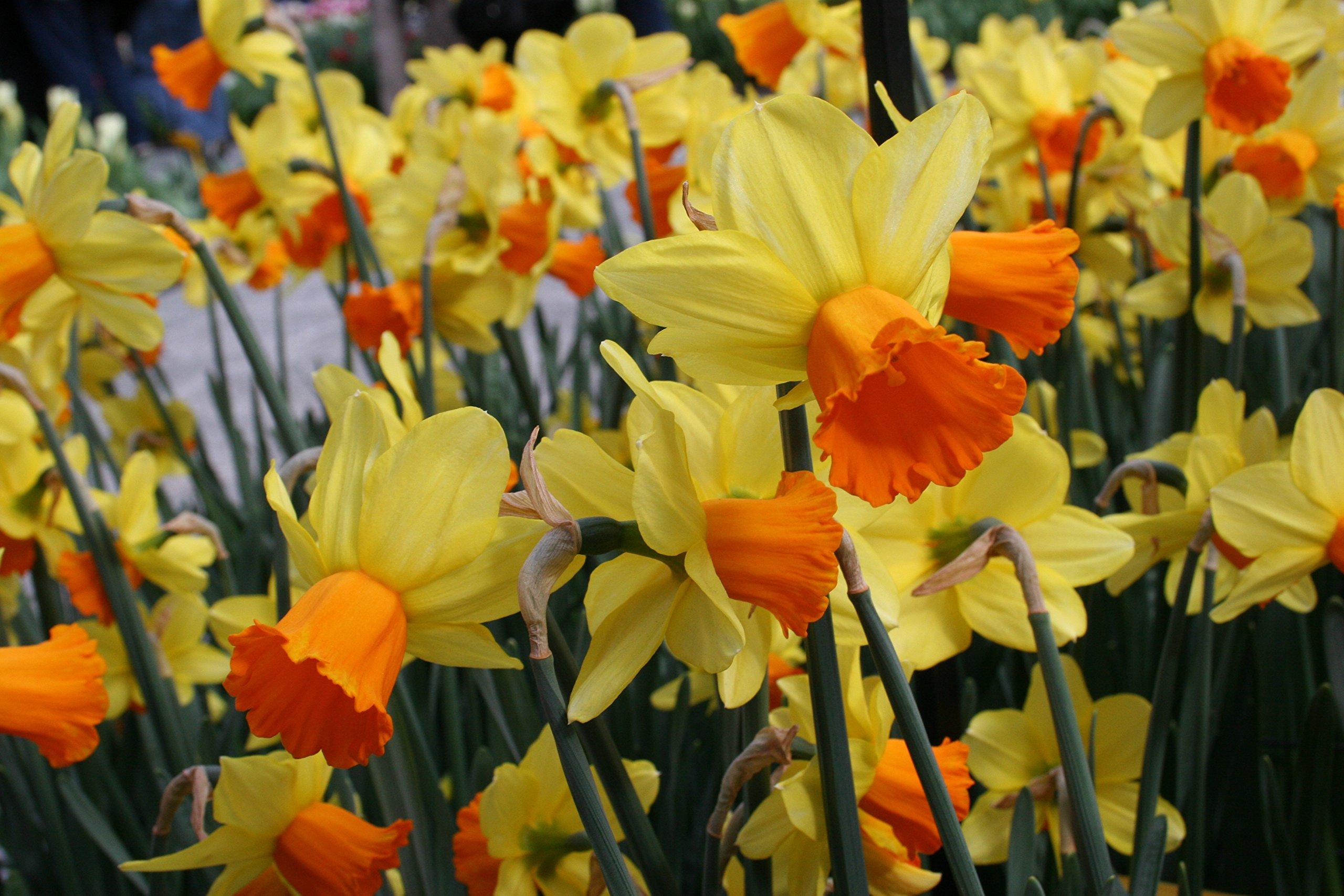 Scarlet Daffodils- 45 Perennial Daffodil Bulbs by Willard & May