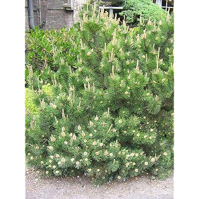 Pinus mugo mughus MUGO PINE TREE Seeds! : Garden & Outdoor
