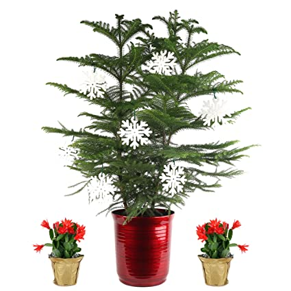 Cactus Christmas Tree.Costa Farms Live Christmas Tree 3 Feet Tall And Christmas Cactus 10 Inches Tall Fresh From Our Farm 3 Pack