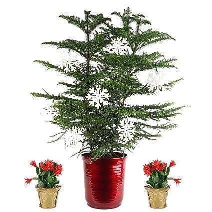 Amazon Com Costa Farms Live Christmas Tree 3 Feet Tall And