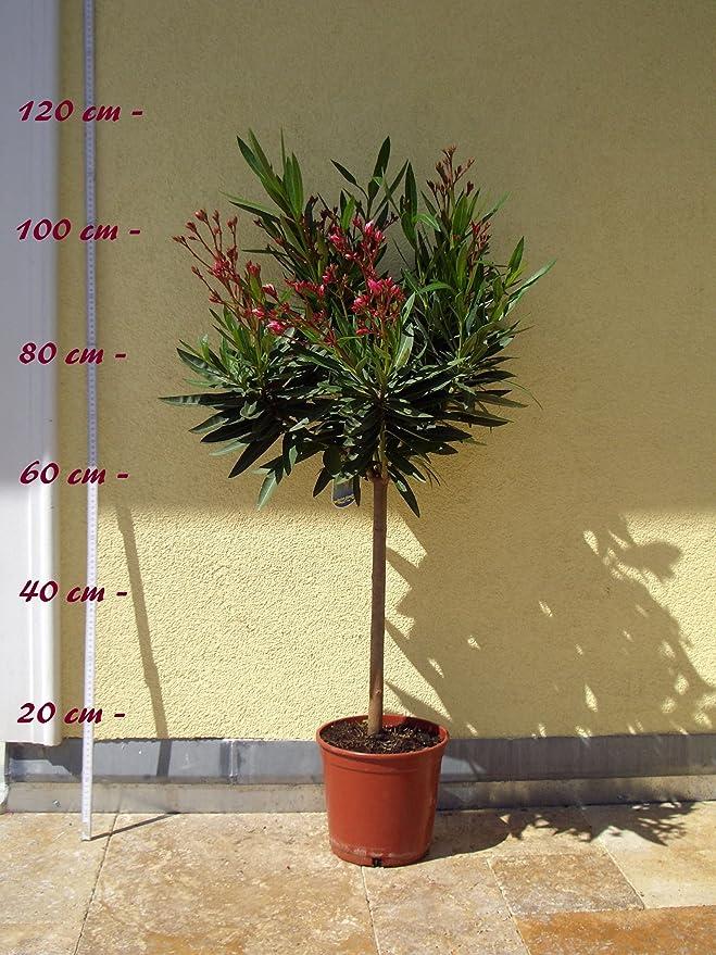 """Oleander /""""Splendens Giganteum/"""" Nerium oleander Größe C05 als Halbstamm"""