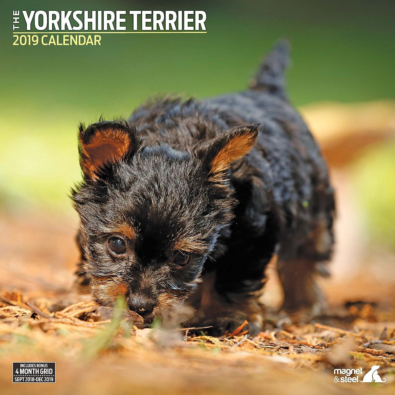 Magnet & Steel 23.068,3Cm'yorkshire Terrier Tradizionale 2019Calendario