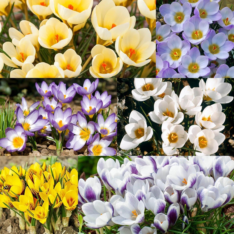 Humphreys Garden Crocus Species Mixte x 100 Bulbs Bulbes