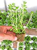 Bacopa Monnieri Moneywort Freshwater Live Aquarium Plants 8 Stems with Roots