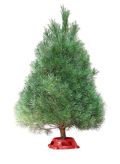 Real Christmas Tree.Amazon Com Hallmark Real Christmas Tree Scotch Pine 3 Foot