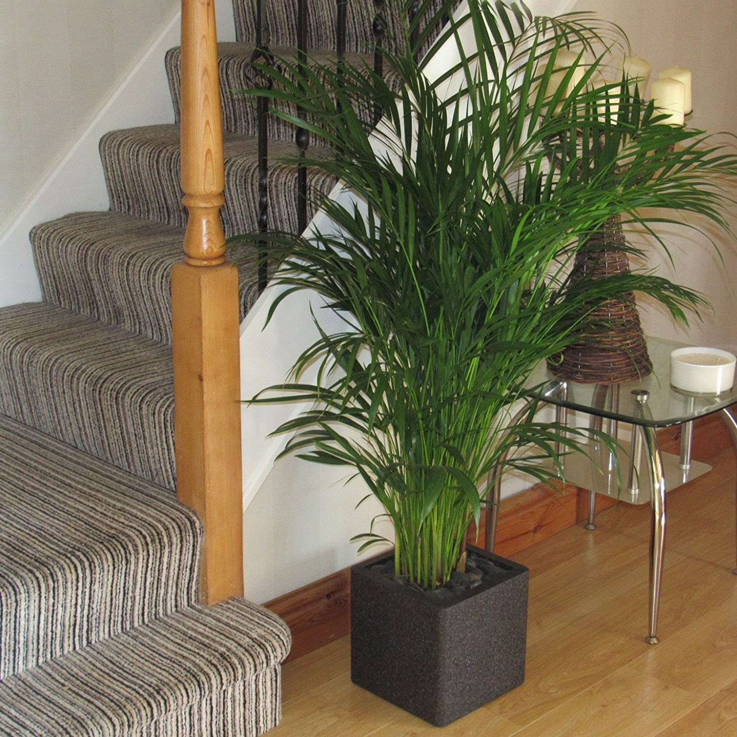 Bentleys Large Areca Indoor Palm Tree 3.5-4ft Stunning Quality