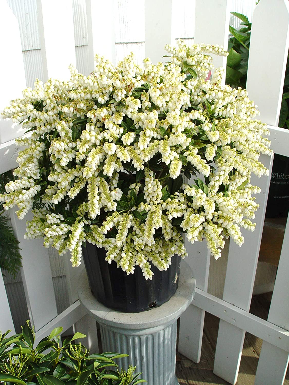 Brouwers Beauty Andromeda Brouwers Beauty Size Container #3 Pieris jap Evergreen