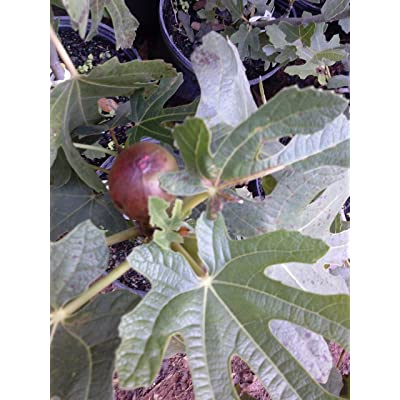 (1 Gallon) Fig Plant, BLACK MISSION, Gallon Size, considered best all round fig, very popular fig, originated from spain, pear shaped, black to purple black color, will bear fruit coming season : Garden & Outdoor