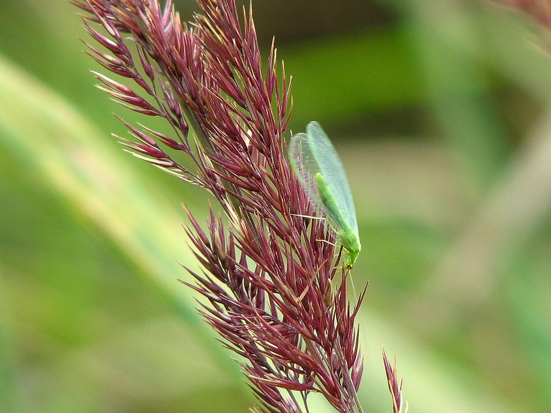 TwinterS 500 Florfliegen-Larven zur Bekämpfung von Blattläusen, Thrips, Spinnmilben, Raupen, Woll-/Schmierläuse Woll-/Schmierläuse