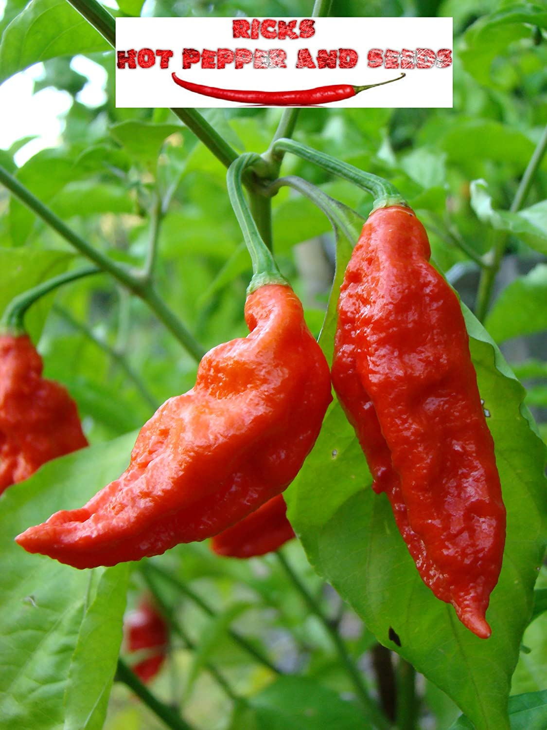 bhut jolokia(ghost pepper)real quality seeds....