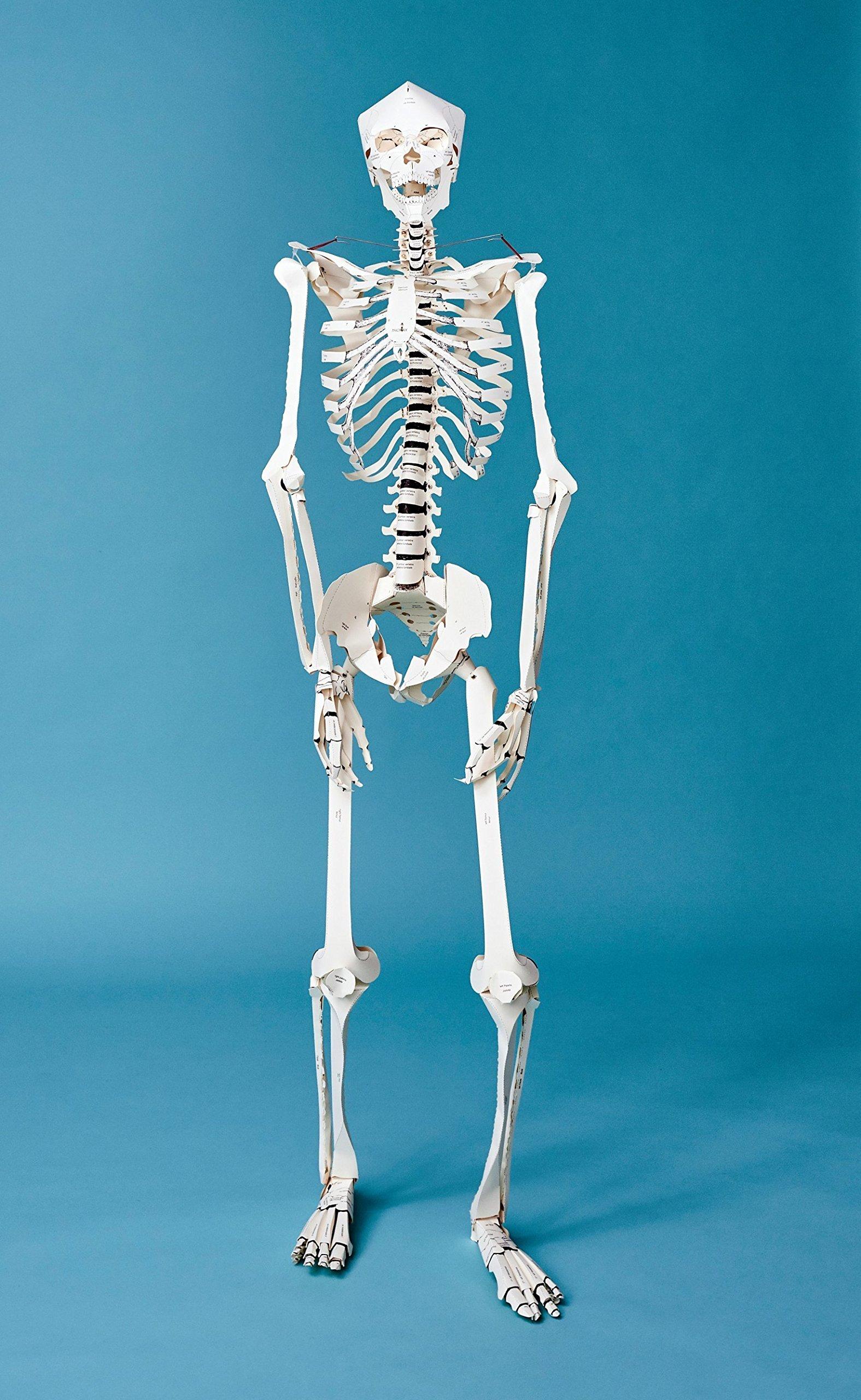 Build Your Own Human Skeleton Life Size Amazon Taschen Bcher