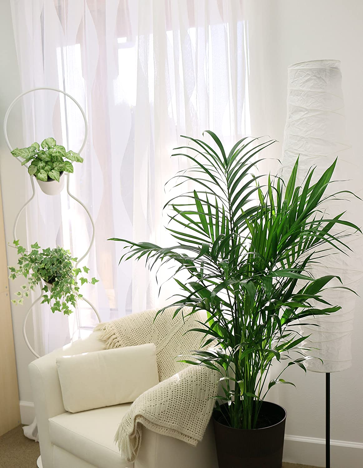Areca Plant Cat Palm Tree Live Indoor Real Plants Majesty
